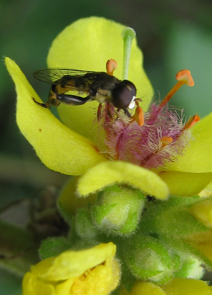 coevolution-flower-insect-california-algarve-verbascum-seed-bank-dirkmarkus-lichtenberger