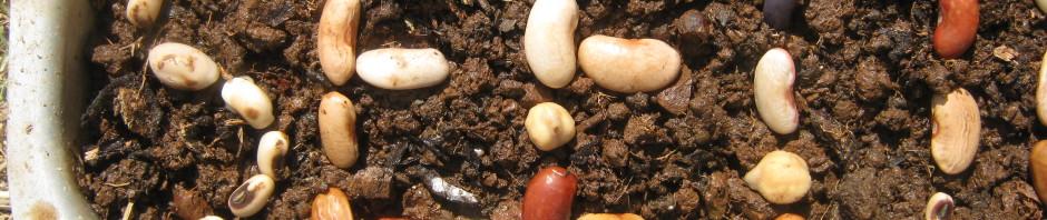 banco-semences-seedbank-maghreb-algarve-7000-beans-bohnen-for-7000-oaks-eichen-chenes-dimali